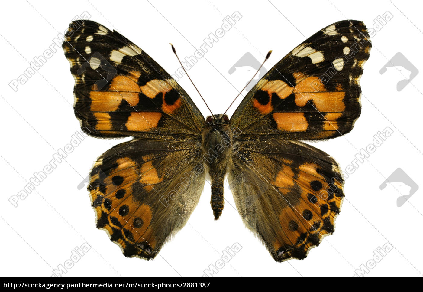 painted, lady, butterfly, - 2881387