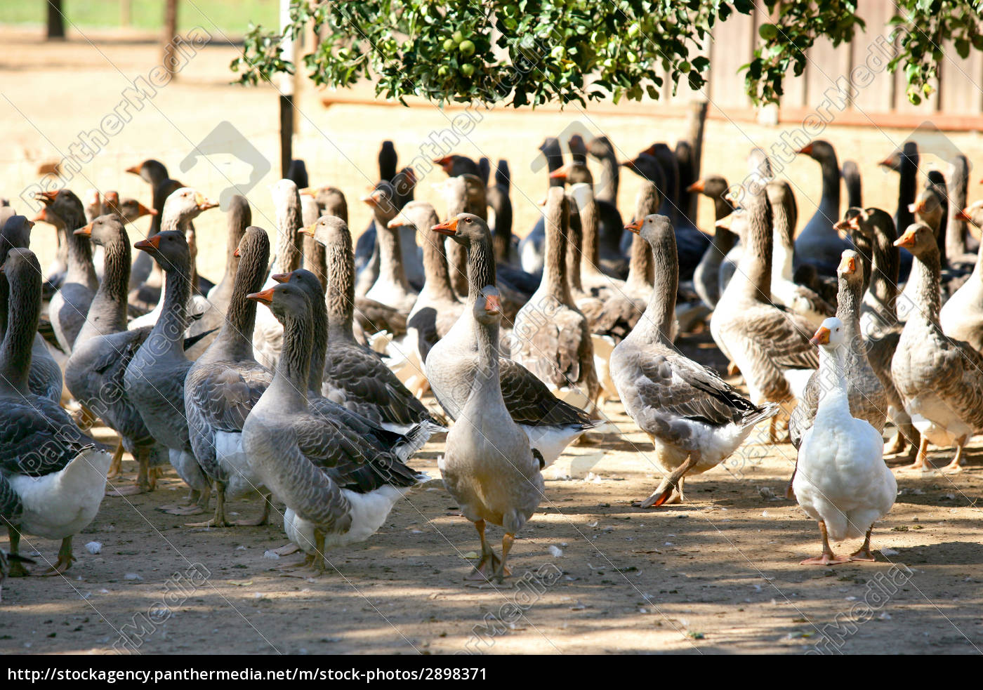 breeding, geese - 2898371