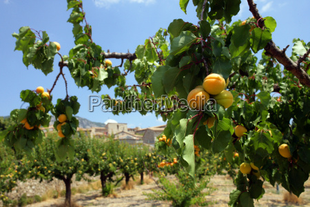 field, of, apricot, trees, in, the - 2898739