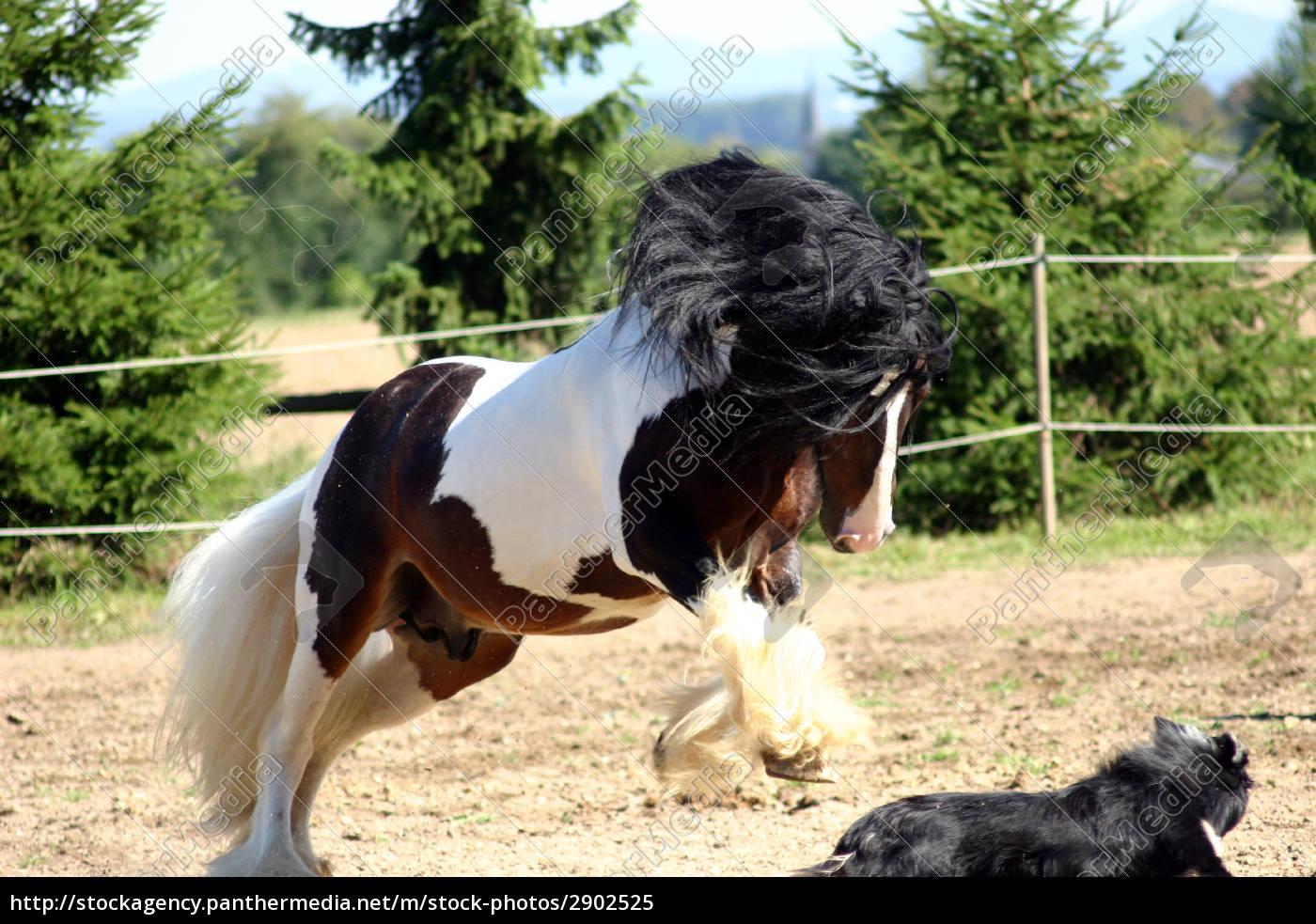 Stock Photo 2902525 - dog and irish cob stallion at the game