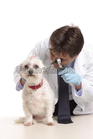 vet, inspecting, dogs, ears - 2937559