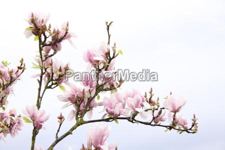 magnolia - 2945565