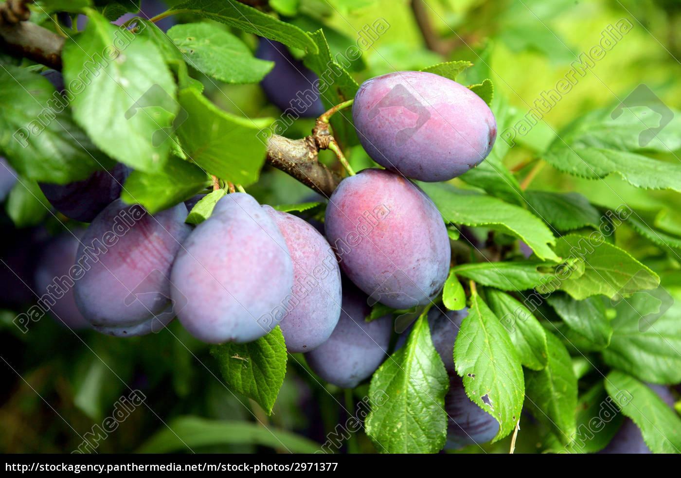 plums - 2971377