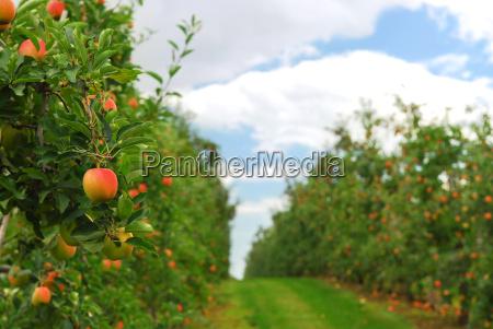 apple, orchard - 2988897