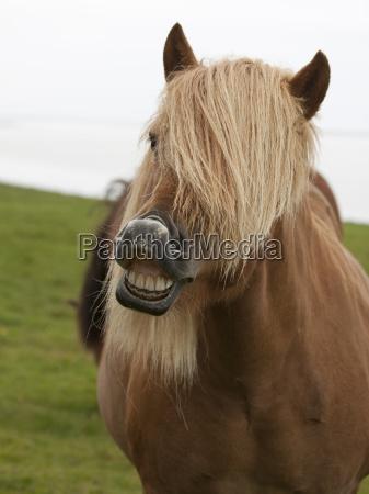 iceland, pony - 2994533