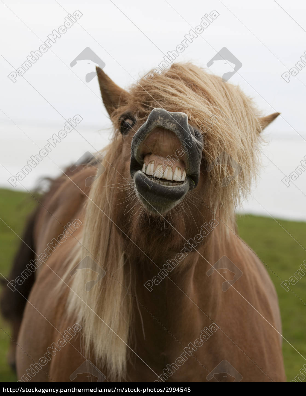 iceland, pony - 2994545