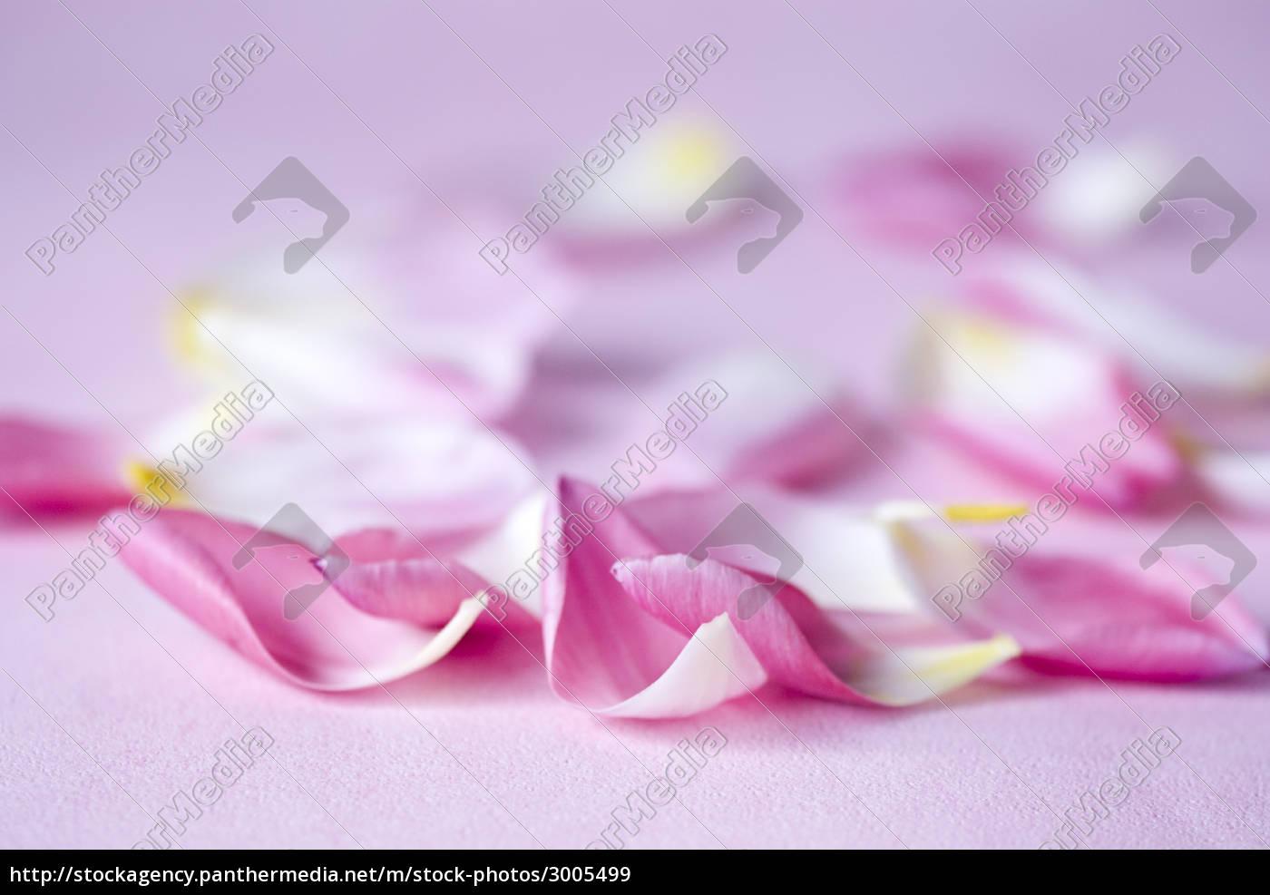 petals, tulips - 3005499