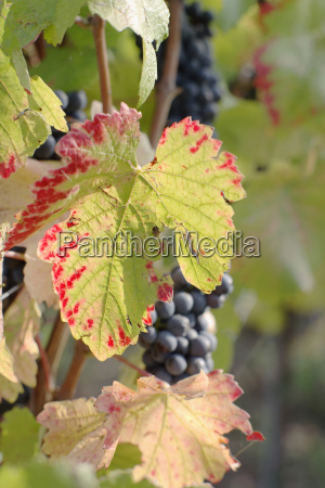 red grapes close up