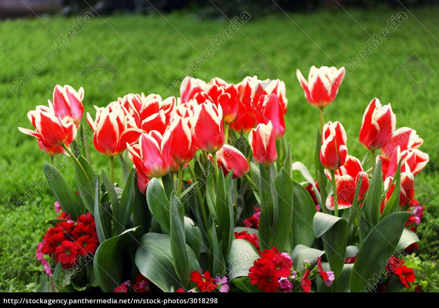 tulips - 3018298