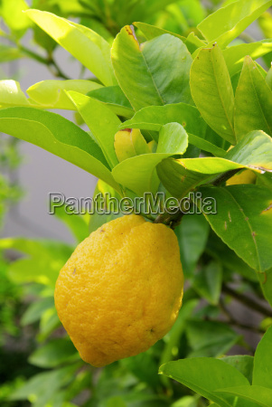 lemon on the tree lemon