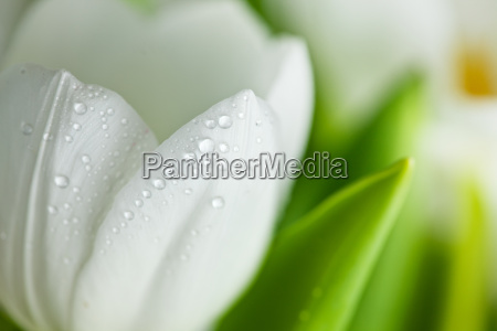 white tulips with water drops