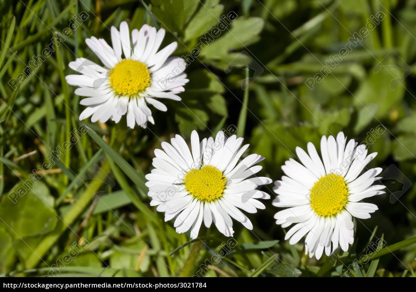 daisy - 3021784