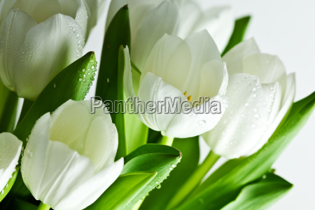 white, tulips, with, water, drops - 3022448