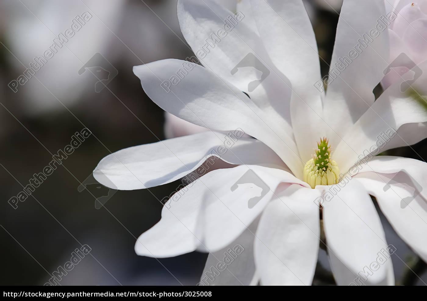 star, magnolia, 9 - 3025008