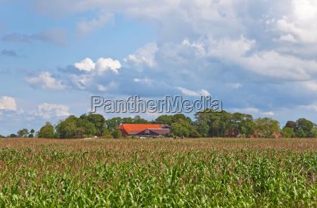 cornfield with farm