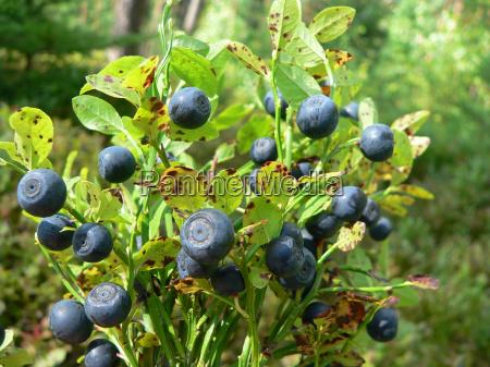blueberry bouquet