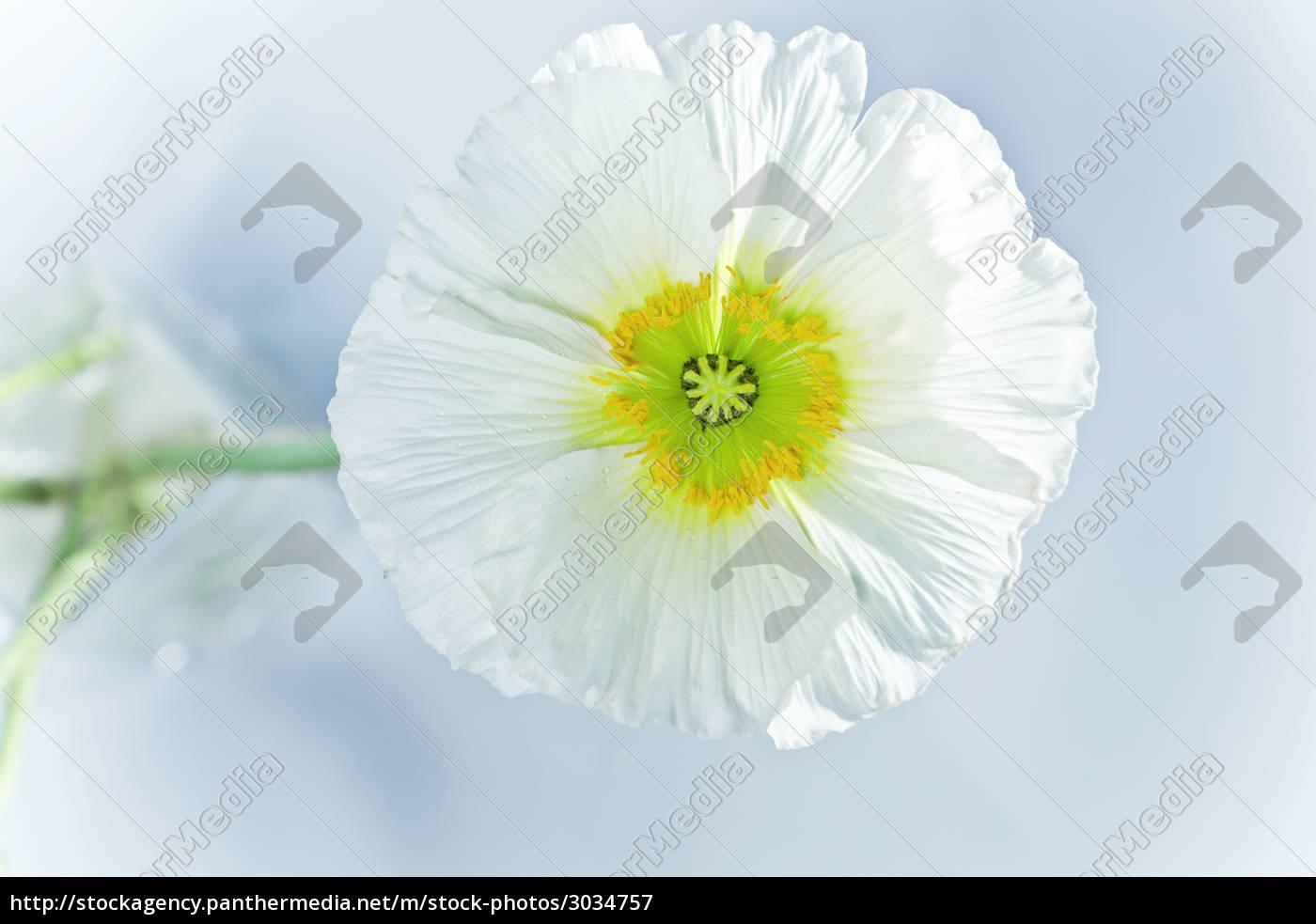 mohnbluete, macro, flower - 3034757