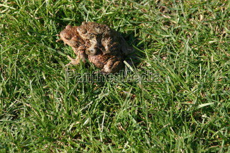 toads on spawning migration
