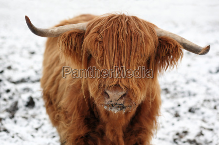 highland, cattle, in, the, snow - 3037793