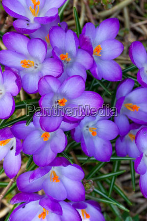 viele lila krokusse im fruehling