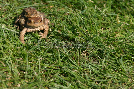common toads on migration