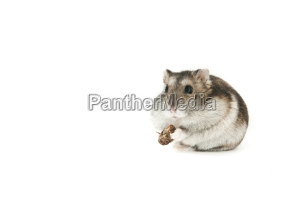 hamster, isolated - 3051310