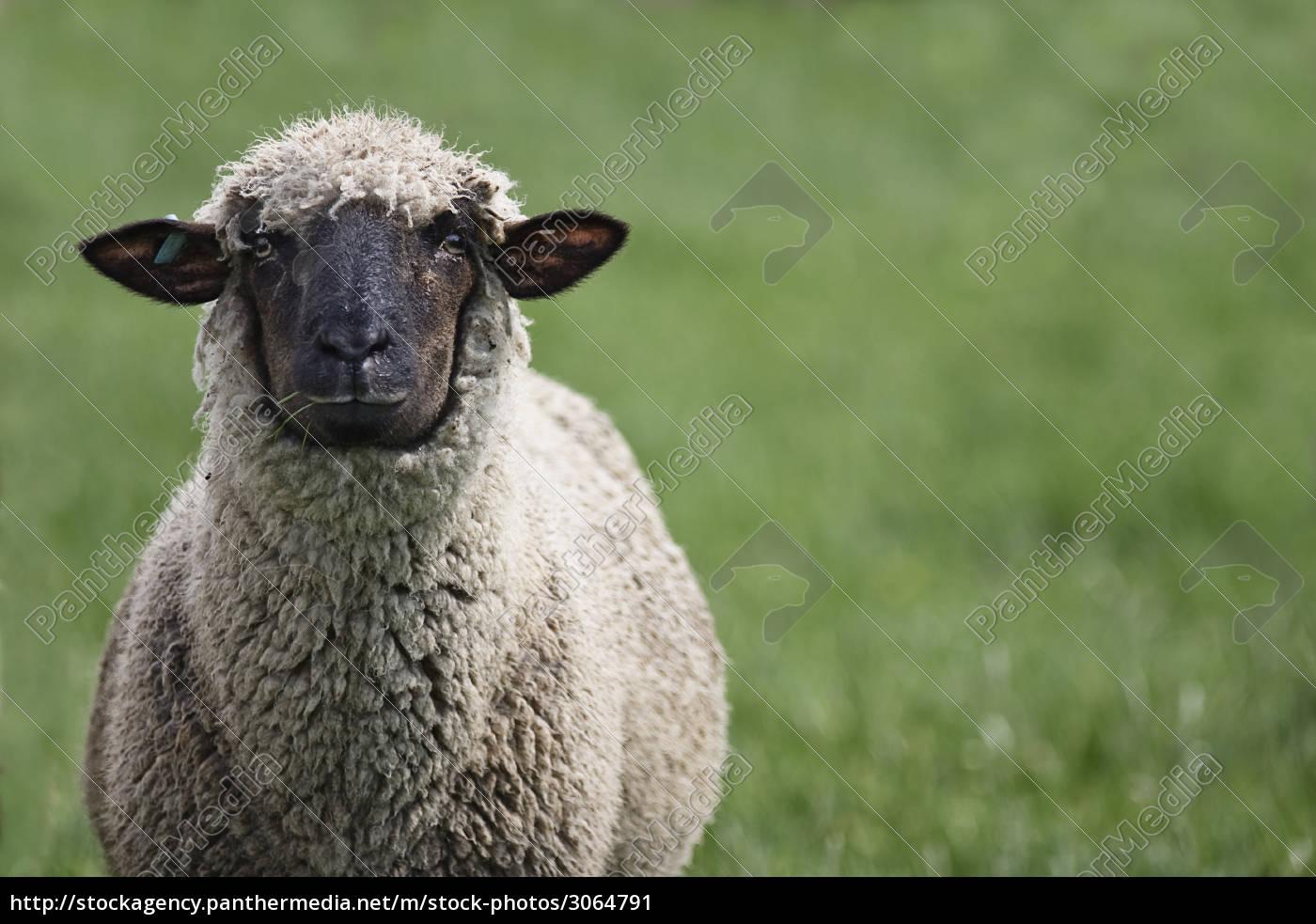 black, sheep - 3064791