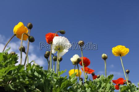 poppies - 3066981