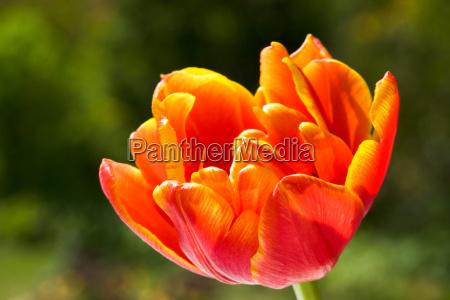 tulip blossom