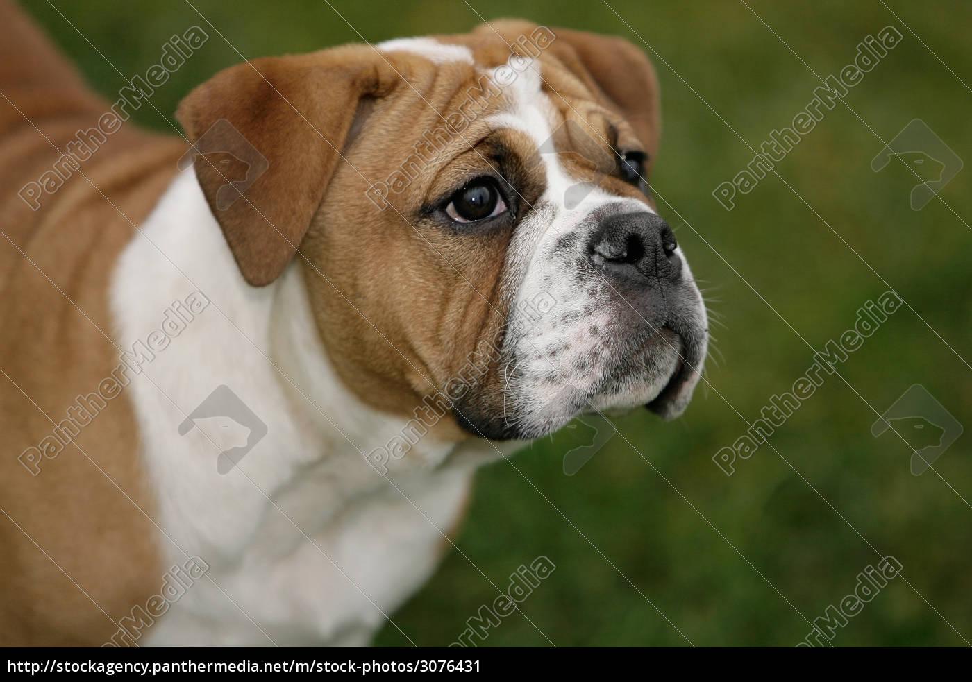 Continental Bulldog Puppy Royalty Free Image 3076431 Panthermedia Stock Agency