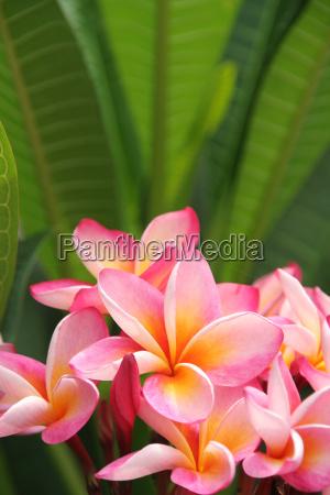 frangipani, background - 3077665