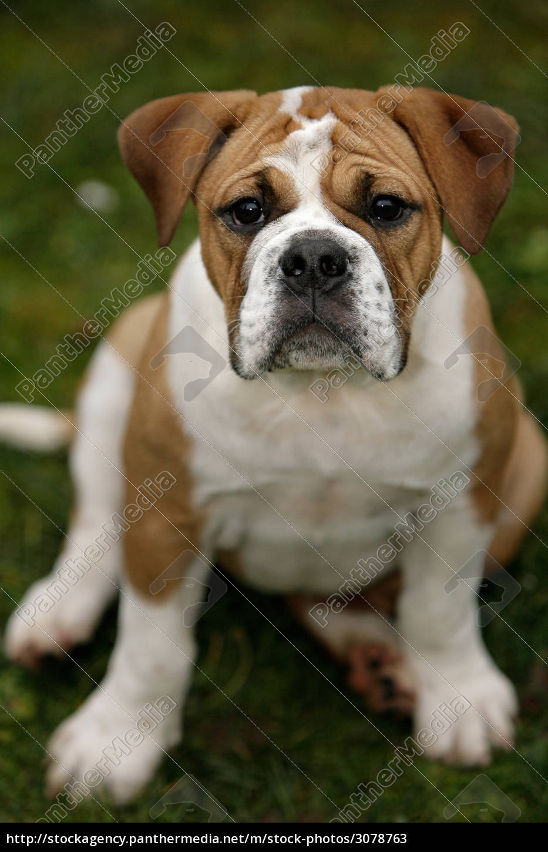 Continental Bulldog Puppy Stock Photo 3078763 Panthermedia Stock Agency