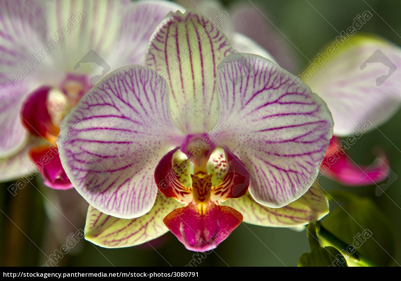 orchid - 3080791