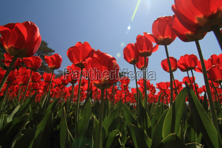 tulips, and, sky - 3092983