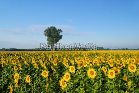 sunflower field sunflowers field 05