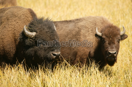 bison lovers