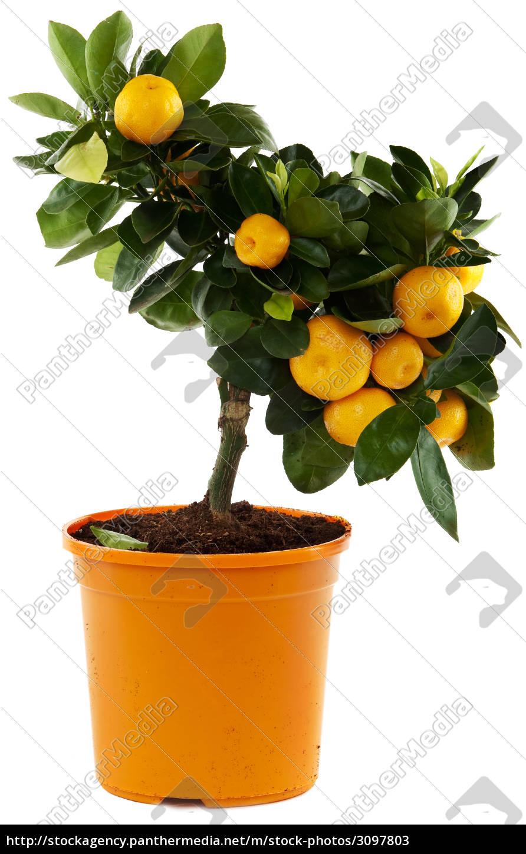 orange, tree, against, white, background - 3097803