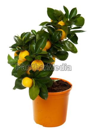 orange, tree, against, white, background - 3097805