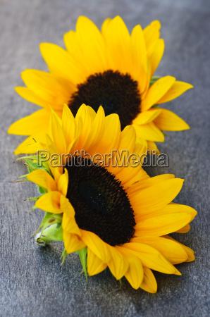 sunflower, blossoms - 3099531