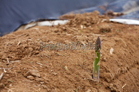 green asparagus on a field