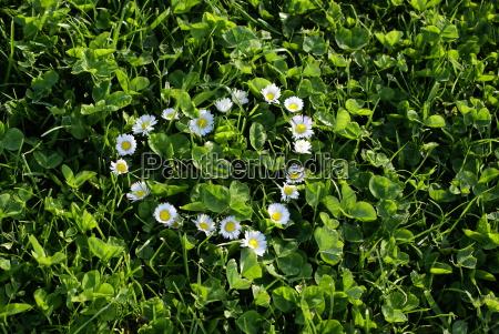 daisy heart 3