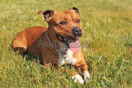 staffordshire, bull, terrier - 3110595