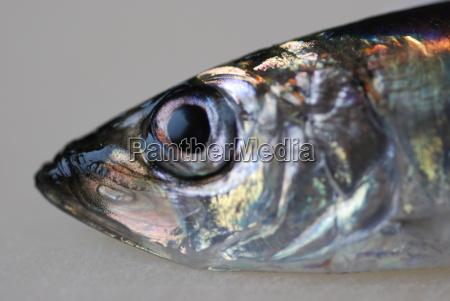 herring clupeidae