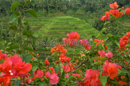rice terrace on the island of