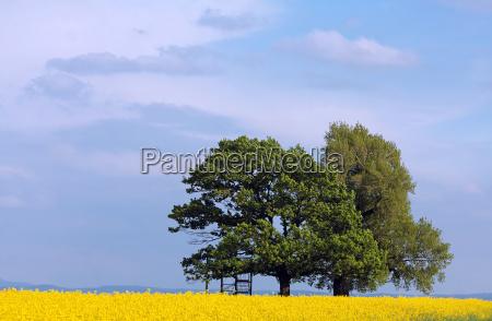 poplar and oak