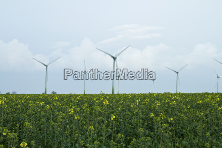 canola field with wind power