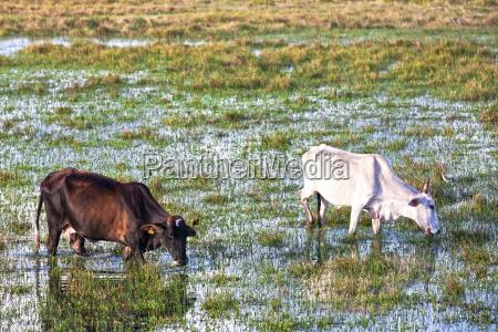 cows grazing in bahia