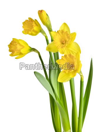 spring, yellow, daffodils - 3127893