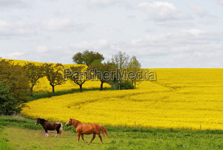 horses in spring in the pasture
