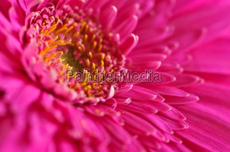 gerbera, flower - 3134927